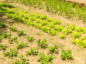 ogrodek-warzywny-dla-poczatkujacych